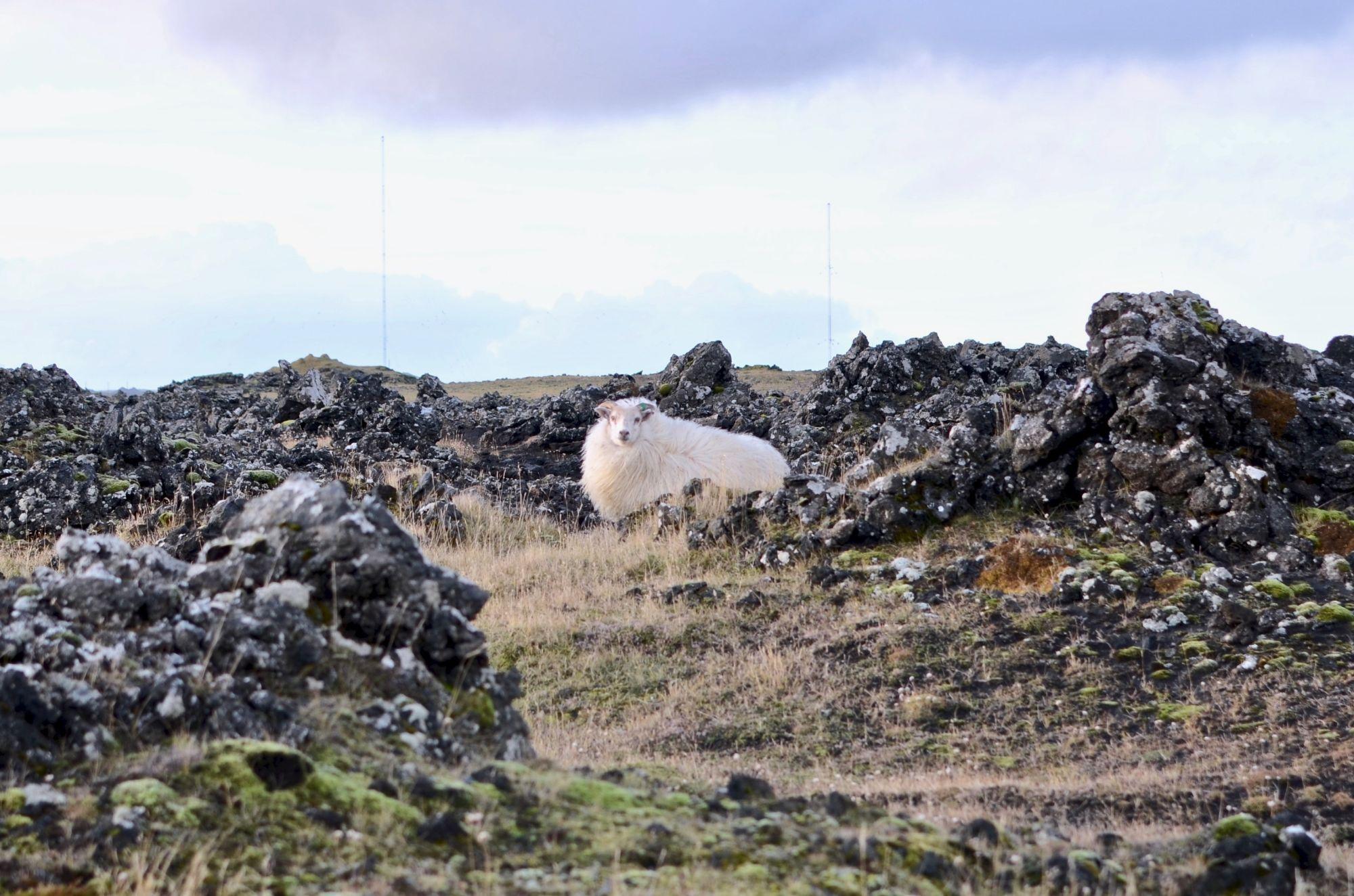 Iceland Honeymoon Tours 2019 - 2020 -  sheep rocks