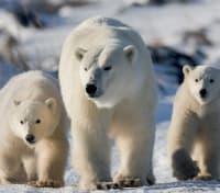 Great Polar Bear Adventure Tours 2020 - 2021 -  Polar Bears
