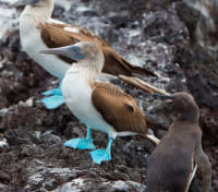 Ecuador and Galapagos Islands Signature Tours 2019 - 2020 -  Blue-Footed Booby Birds