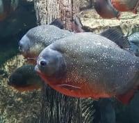 Amazon Lodge & Machu Picchu Highlights Tours 2019 - 2020 -  Amazonian Piranhas