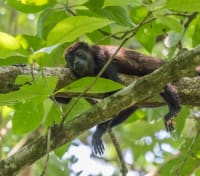The Amazon: In the Spirit of Roosevelt Tours 2020 - 2021 -  Red Howler Monkey