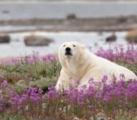 Arctic Summer Adventure Tours 2020 - 2021 -  Polar Bear