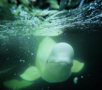 Arctic Summer Adventure Tours 2020 - 2021 -  Beluga Whale